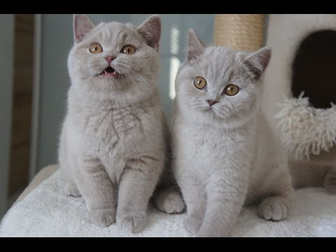 ZAPPA - Franuś i Zareen-  British Shorthair Cattery