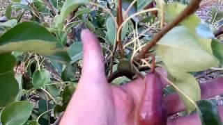 видео Подвой груши ВА-29