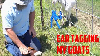 Why am I ear tagging goats