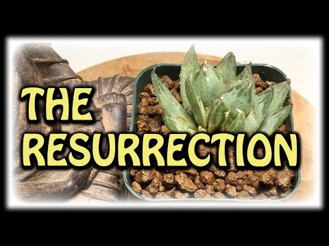 REVIVING DYING SUCCULENTS PLANTS - RESCUED HAWORTHIA UPDATE - NEW OFFSET