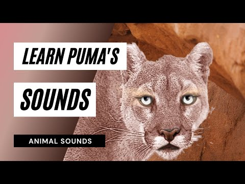 The Animal Sounds: Puma Growls - Sound Effect - Animation ...