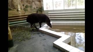 ТАПИРЫ-древнейшие животные ,пережившие ЛЕДНИКОВЫЙ период.