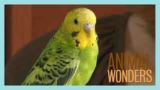 Budgies! What, Where, How