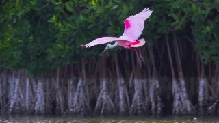 Video The Roseate Spoonbills of Florida Bay download MP3, 3GP, MP4, WEBM, AVI, FLV Oktober 2018