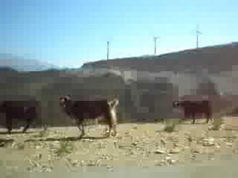 Daiana Grecia Santorini - cabras