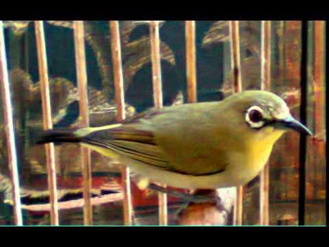 burung pleci rombongan suara jernih dan keras cocok untuk masteran