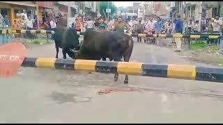रेलवे फाटक के बीच में दो सांडों के बीच में जबरदस्त लड़ाई@Pawan Deshi Vloger
