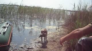 Бретонский эпаньоль - подача утки с воды
