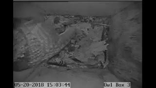 Screech Owl Box 3 Cam Live Stream thumbnail