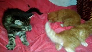 Котята Мейн кун красного мраморного и черного мраморного окраса