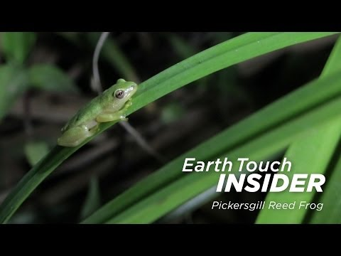 Saving one of South Africa's most endangered frogs   Earth Touch Insider