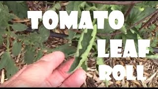 Tomato Leaf Roll. One of the First Signs of Overwatering on Tomatoes.