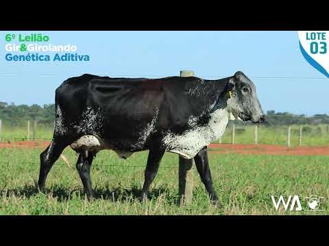 LOTE 03 - 6358 BD - 6º Leilão Gir & Girolando Genética Aditiva