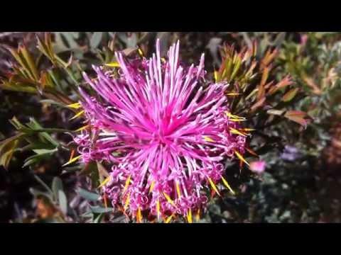 Wild Flowers Of Lesmurdie Escarptment Perth Western Australia