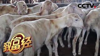 《致富经》 原生态农场发展湖羊养殖 步步为营实现财富翻倍 20200723 | CCTV农业 - YouTube
