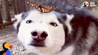 Husky Dog Reacts to Butterfly Landing on Her + Cute Animal Videos | The Dodo Top 5