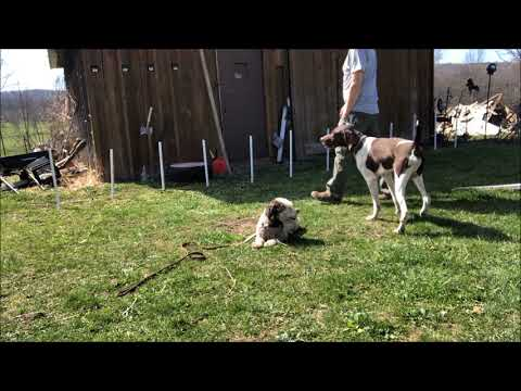 Impulse Control with German Shorthaired Pointer and Bichon Frise
