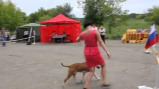 Кобель юниор. Выставка собак. Большой Камень 19.07.2015