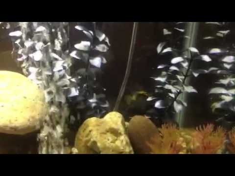 Jellybean parrot fish and convict cichlids