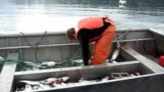 Heather And Bernie Picking Fish In Olga Bay