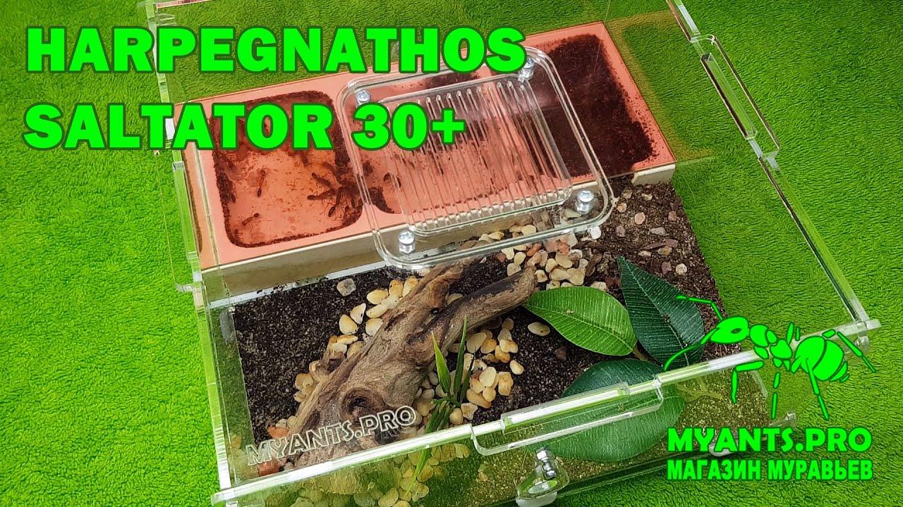 Экспериментальная колония муравьев Harpegnathos Saltator (Салтаторы)