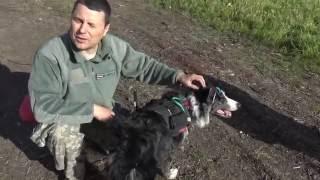 Поисковая собака сигнализирует о находке человека. ЭКГ собаки
