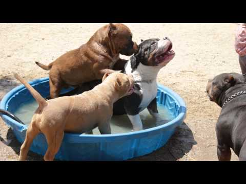 Thee Buss trying to mount the Beast; American Bully dog play time