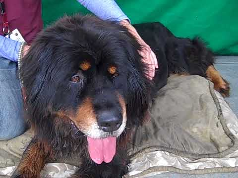 A5174672 Dandelion | Bernese Mountain Dog