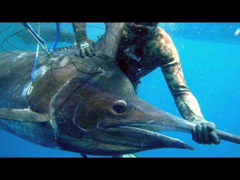 Extreme Spearfishing of a 500lb Black Marlin - 250 Kg of pure power - Deep Ocean Apnea and Emotions