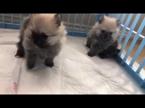 Teddy Bear Pomeranian Puppies in Houston Texas for sale BOO Grandbabies