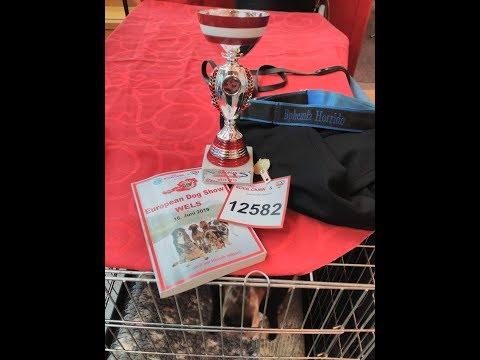 Basset hound ring at European Dog Show in Wels 2019