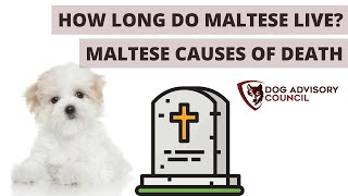 How Long Do Maltese Live Lifespan and Causes of Death