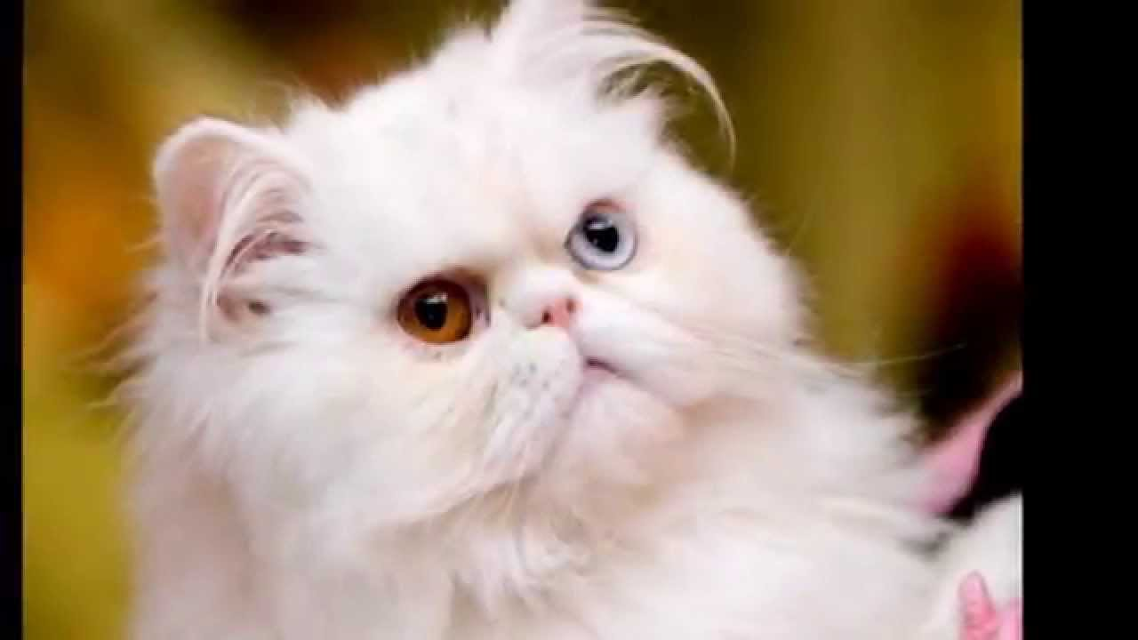 Cute White Kittens With Blue Eyes Wallpaper Top 50 Cute And Fluffy Dog Cat 2015 Youtube