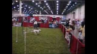 Pitbull Running The Agility Course At The Houston Pet Expo 2012