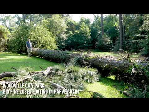 Tree falls in city park from Harvey rainfall
