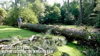 Tree falls in city park from Harvey rainfall
