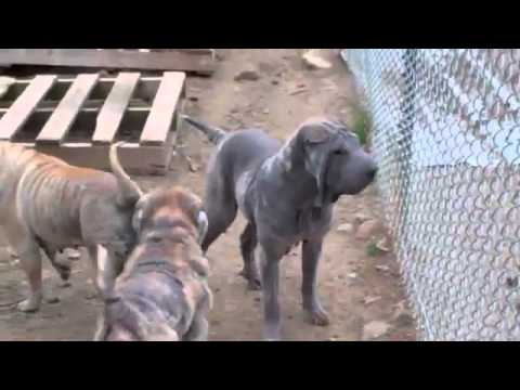 Goldendale Shar-Peis coming to Portland
