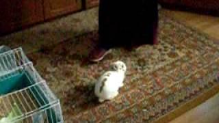 Рычащий кролик(Провоцировали, конечно, поэтому не так интересно. Но вообще-то кролик строго охраняет свой ковёр - горе наст..., 2010-05-08T21:15:09.000Z)