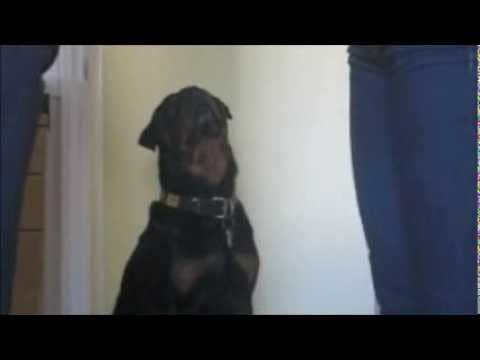 Rottweilers are great listeners!