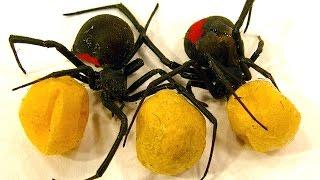 Spider Egg Sac Vs Mortein Bug Spray Spiderlings Dead Or Alive Educational Video