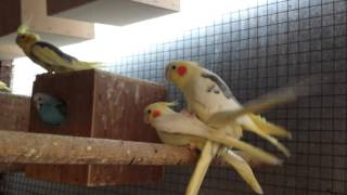 Cockatiel mating ritual