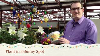 Easter Lily Care Tips