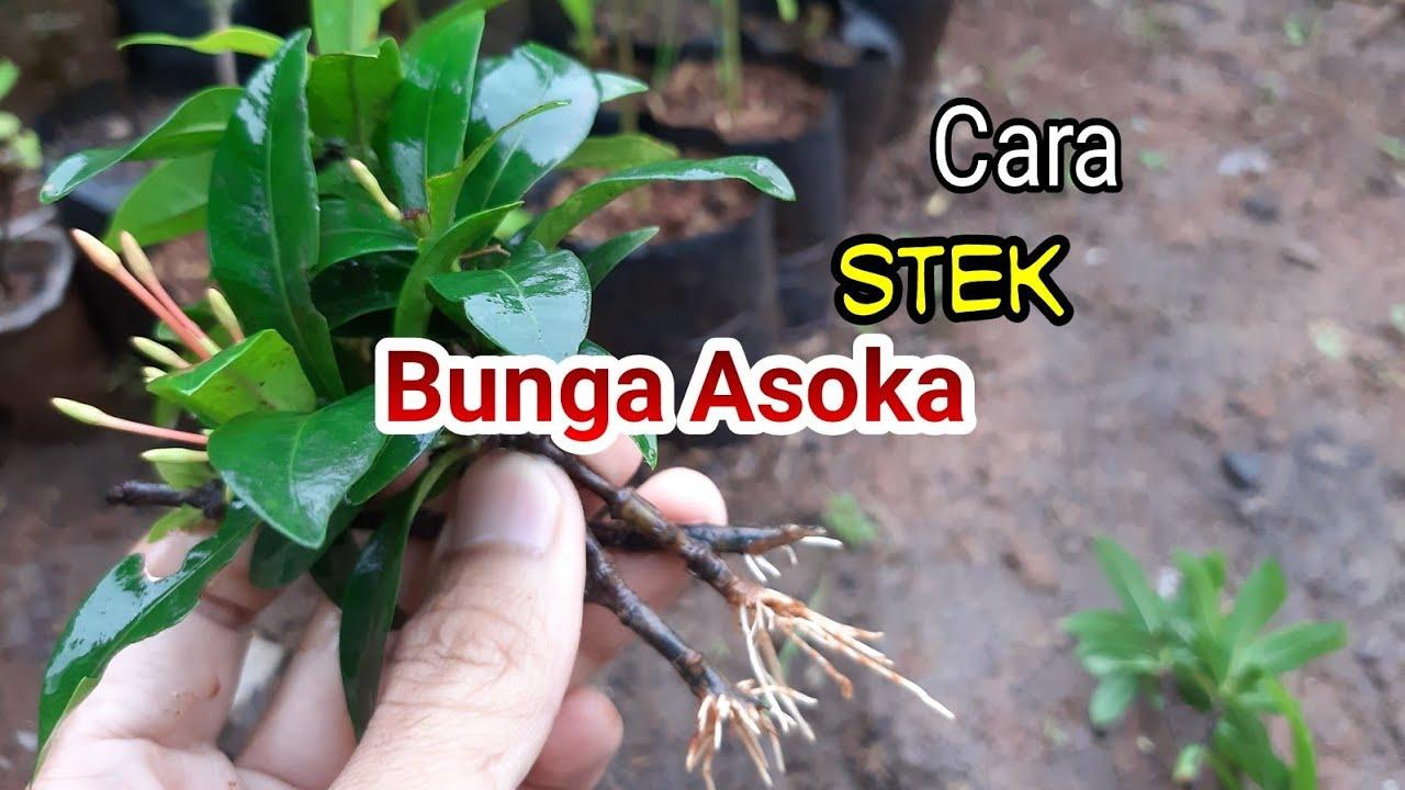 Stek Bunga Asoka Youtube