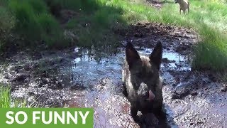 German Shepherd takes ridiculous mud bath