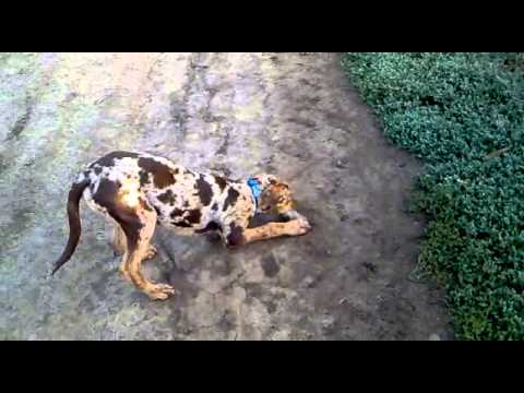 Catahoula Leopard Dog Draco playing outside
