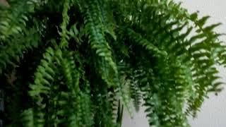 Оазис в доме : папоротник и другие комнатные растения #цветы #папоротник #растения