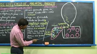 Class XI: Chapter-11  Life cycle of Malarial parasite, Plasmodium Part 1