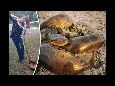 Fearless Detective Emily Shaw Caught the 9foot Long Anaconda  Online Current Affairs
