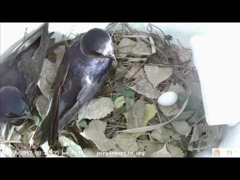 Purple Martins defending against a nest intruder
