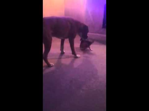 Boxer dog vs chiwawa